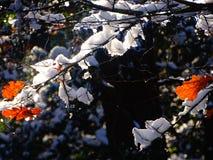 Sneeuw die takken en rood gebladerte behandelen Stock Fotografie
