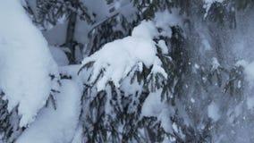 Sneeuw die van de Langzame motie van sparrentakken vallen stock video