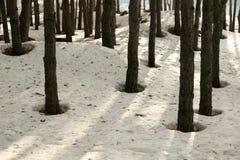Sneeuw in een pijnboombos in de lente stock foto