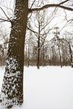 Sneeuw eiken boom op de rand van bos Royalty-vrije Stock Afbeelding