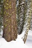 Sneeuw en de Mos Behandelde Boomstammen van de Sequoia Royalty-vrije Stock Afbeeldingen