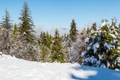 Sneeuw en Groene Bomen Stock Foto's