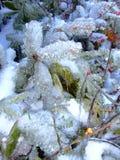 Sneeuw en Ijs op Pijnboombomen met bessen royalty-vrije stock afbeelding