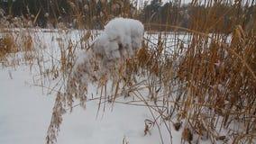 Sneeuw en vorst op de installaties Donker sneeuwweer Sluit omhoog gras en riet onder sneeuw stock footage