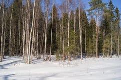 Sneeuw Forrest Stock Afbeelding
