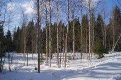Sneeuw Forrest Royalty-vrije Stock Afbeelding
