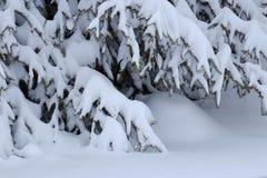 Sneeuw geladen pijnboomboom in de winter Royalty-vrije Stock Foto