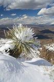 Sneeuw geladen Yucca Stock Afbeeldingen