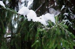 Sneeuw GLB op een groene tak van sparren royalty-vrije stock afbeelding