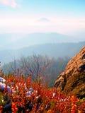 Sneeuw in het rode bloeien van heidestruik op klip in park Heuvelig platteland met lang valleihoogtepunt van de herfstmist Stock Fotografie