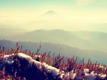 Sneeuw in het rode bloeien van heidestruik op klip in park Heuvelig platteland met lang valleihoogtepunt van de herfstmist Royalty-vrije Stock Afbeeldingen