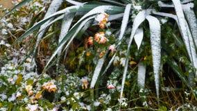 Sneeuw in het zuidelijke gebied met bloemen en installaties stock video