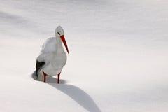 Sneeuw ooievaar stock foto's