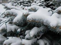 Sneeuw op altijdgroene struiken stock foto's