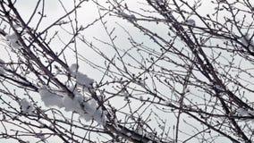 Sneeuw op boomtakken stock video