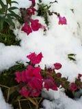 Sneeuw op de bloemen Stock Foto's