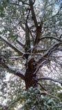Sneeuw op de boom Stock Afbeeldingen