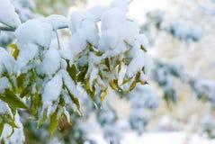 Sneeuw op de lente groene bladeren Royalty-vrije Stock Fotografie