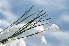Sneeuw op de naalden van de pijnboomboom Royalty-vrije Stock Afbeeldingen