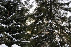 Sneeuw op de sparren in de zon royalty-vrije stock afbeeldingen