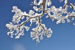 Sneeuw op de tak Stock Afbeelding