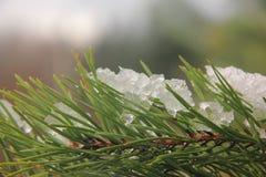 Sneeuw op een pijnboom. Royalty-vrije Stock Foto