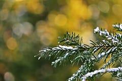 Sneeuw op een pijnboomtak Royalty-vrije Stock Foto's