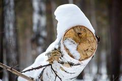 Sneeuw op gevallen berk, close-up royalty-vrije stock afbeelding
