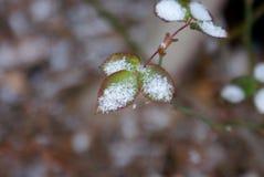 Sneeuw op Nieuwe Bladeren Stock Fotografie