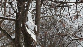 Sneeuw op pijnboombomen stock video