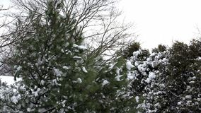 Sneeuw op pijnboombomen stock footage