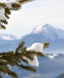 Sneeuw op pijnboomtak Stock Afbeelding