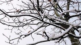 Sneeuw op tak Stock Afbeeldingen