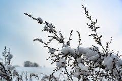 Sneeuw op zaden van weinig droge die installatie, installatie met sneeuw wordt behandeld stock fotografie