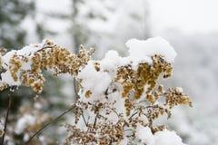 Sneeuw op zaden van weinig droge die installatie, installatie met sneeuw wordt behandeld royalty-vrije stock afbeelding