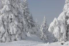 Sneeuw pijnbomen Stock Afbeeldingen