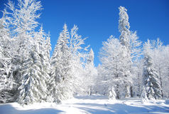 Sneeuw Pijnboom Stock Afbeeldingen