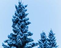 Sneeuw Servische pijnboombomen Stock Afbeelding