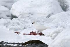 Sneeuw sheathbill (albus Chionis) Royalty-vrije Stock Fotografie