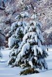 Sneeuw Twee Pijnboombomen Stock Foto's