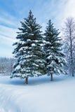 Sneeuw Twee Pijnboombomen Stock Afbeeldingen