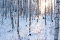Sneeuw van de berkbos en zon licht stock afbeeldingen