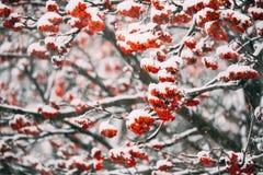 Sneeuw van de lijsterbessen de Rode Bessen Behandelde Winter stock afbeelding