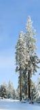 Sneeuw van de winter behandelde torenhoge spar stock afbeelding