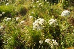 Sneeuw wit bloeiend knoflook stock afbeelding