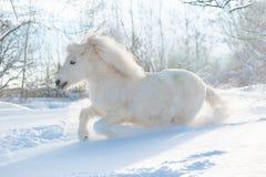 Sneeuw witte leuke pluizige poneylooppas vrij in de sneeuwwinter stock foto's