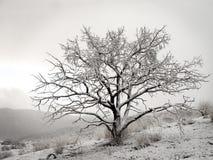 Sneeuw woestijnboom Stock Fotografie