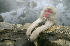 Sneeuwaap of Japanse macaque, Macaca-fuscata Stock Foto's