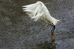 Sneeuwaigrette die laag met een vis in zijn rekening vliegen Royalty-vrije Stock Fotografie
