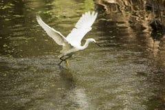 Sneeuwaigrette met vleugels uitgespreid in Florida Everglades Royalty-vrije Stock Foto's